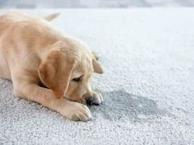 cute dog lying down on a refreshed carpet