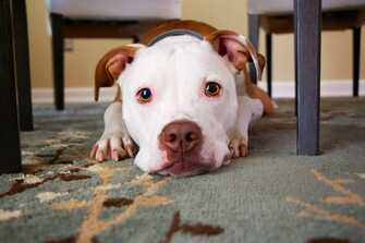 dog sitting on a carpet and staring into camera