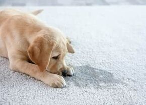 dog lying on a clean white carpet